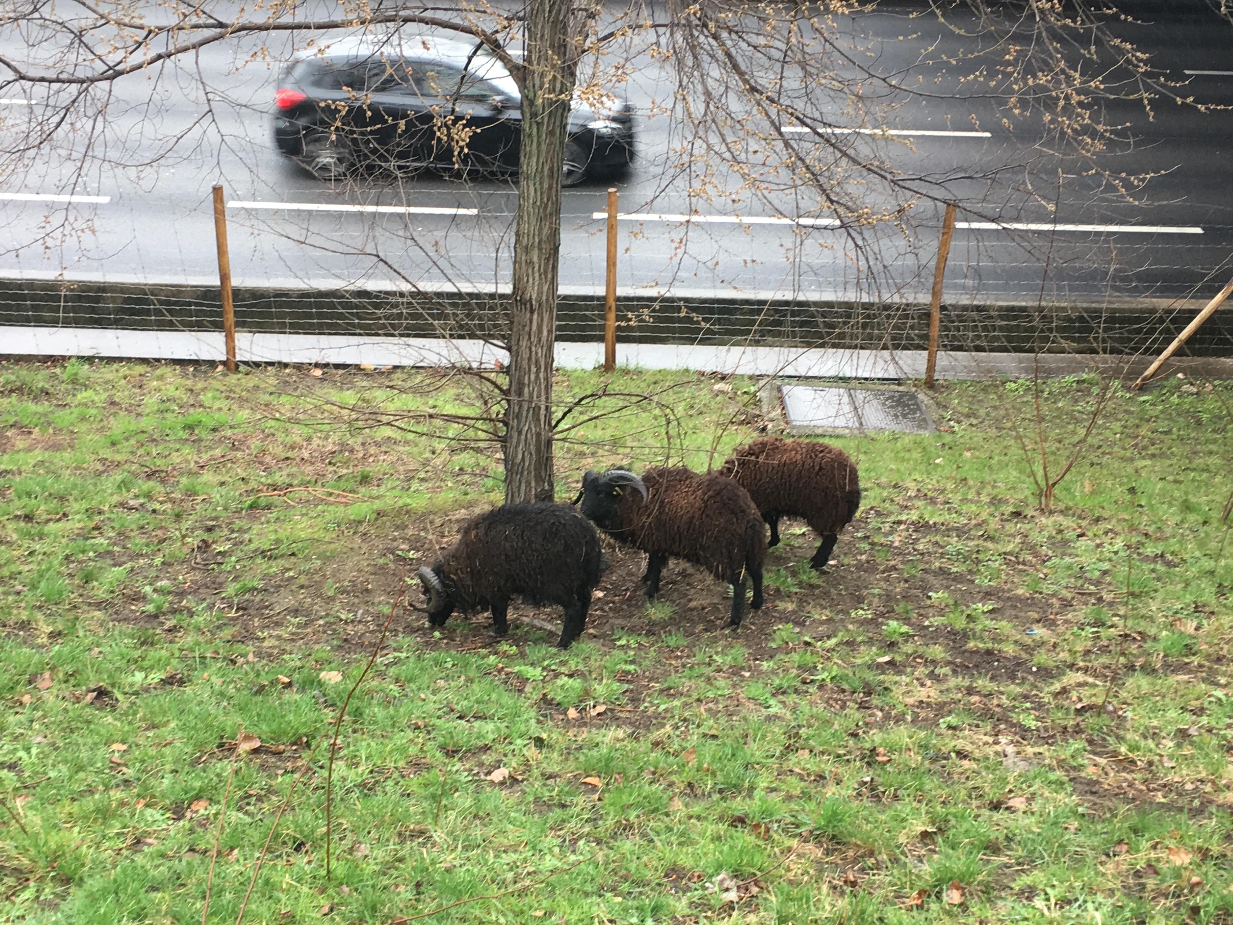 Des moutons broutent la pelouse au bord du périphérique parisien