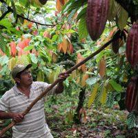 Justino Peck, producteur de cacao de San José, récolte des cabosses