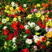 Plantes tinctoriales : de la peinture végétale dans votre jardin