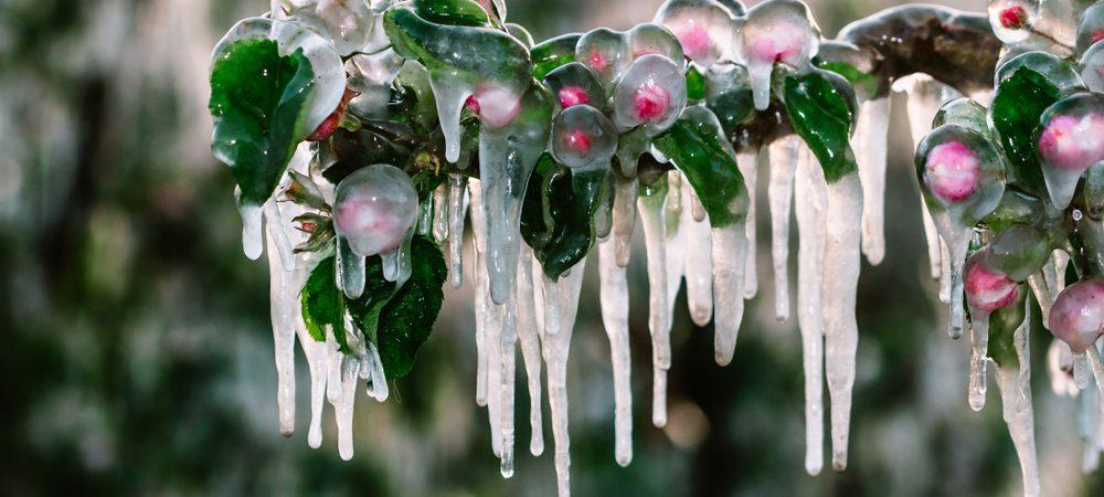 arbuste gelé